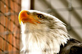 Bald eagle in revalidatiecentrum — Stockfoto