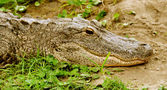 Alligator in the grass-1 — Stock Photo