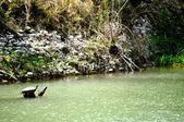 Tortue pagaies au-dessus de l'eau — Photo