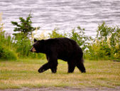 Bear Walking — Stockfoto