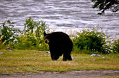 Bear Walking 2 — Stockfoto