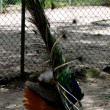 Waccatee Zoo - Peacock Full Feathers Front and Back — Stock Photo