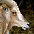 Waccatee Zoo - Goat Stares 2 — Stock Photo