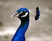 Waccatee Zoo - Peacock Blue — Stock Photo