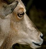 Waccatee zoo - cabra olha 4 — Fotografia Stock