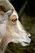 Waccatee Zoo - Goat Stares — Stock Photo