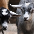 Baby Goats Stare — Stock Photo