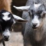 Постер, плакат: Baby Goats Stare