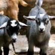 Stock Photo: Goats stare 2