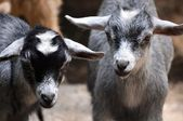 Baby Goats Stare — Stock Photo