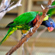 Parakeet on branch — Stock Photo