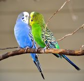 Two Parakeets — Stock Photo