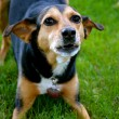 Meagle - Min-Pin Beagle Mixed Breed Dog — Stock Photo