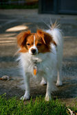 Pappillon Puppy Stares at the Camera 3 — Stock Photo