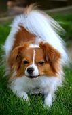 Pappillon puppy staart op de camera 18 — Stockfoto