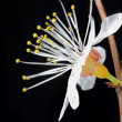 Flowering branch of cherry — Stockfoto #13599648