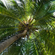 Palm tree coconut — Stock Photo