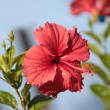 Flower hibiscus - Stock Photo