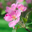 Flowering spring branch of apples - Stock Photo