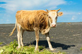 Cow on nature — Stock Photo