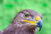 Eagle portret — Stock Photo