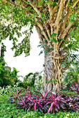 Tree banyan tropical plants — Stock Photo