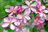 Blommande vår gren av äpplen — Stockfoto