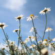 Flower chamomile sky — Stock Photo