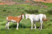 Wild horses horse steppe species Adayev, Jabe — Stock Photo