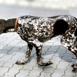 Animal dog dalmatian pet — Stock Photo