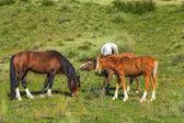 Wild horses — Stock Photo