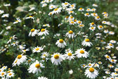 Chamomile meadow flowers — Stock Photo