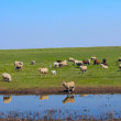 Sheep  animal  grass  farm — Stock Photo