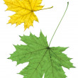 Maple leaf isolated  — Stock Photo