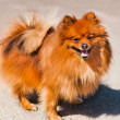 Pets animals dog pomeranian — Stock Photo #36144603