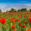 Meadow nature landscape flowers poppy — Stock Photo