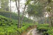 Tea Plantation in India — Stock Photo