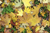 Autumn background of maple leaves — Stock Photo