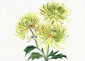 Yellow and green chrysanthemum — Stockfoto