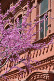 Judas tree branches against red building — Stock Photo