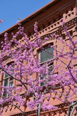 Judas tree branches against red building — Stockfoto