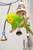 Playing budgerigar — Stock Photo