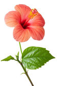 Flowering pink Hibiscus. Isolated on a white. — Foto de Stock