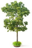 Elm tree — Stock Photo