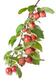 Wild red apples on a branch — Stock Photo