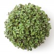 Pot with newborn sprouts of radish. Top view. - Stock Photo