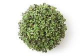 Pot with newborn sprouts of radish. Top view. — Stock Photo