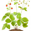 Bush of wild strawberries — Stock Photo