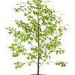 Stock Photo: Young birch tree