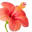 Pink flower of Hibiscus — Stock Photo